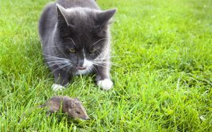 Cat stalking mouse to represent vulnerability